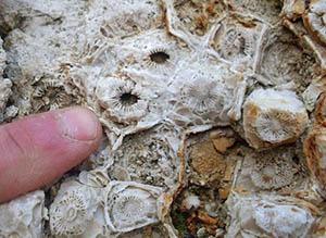 окаменевший коралл из южной части Гурьевского карьера